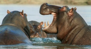 Nijlpaard - Quick guide Afrika