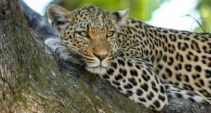 Luipaard Botswana