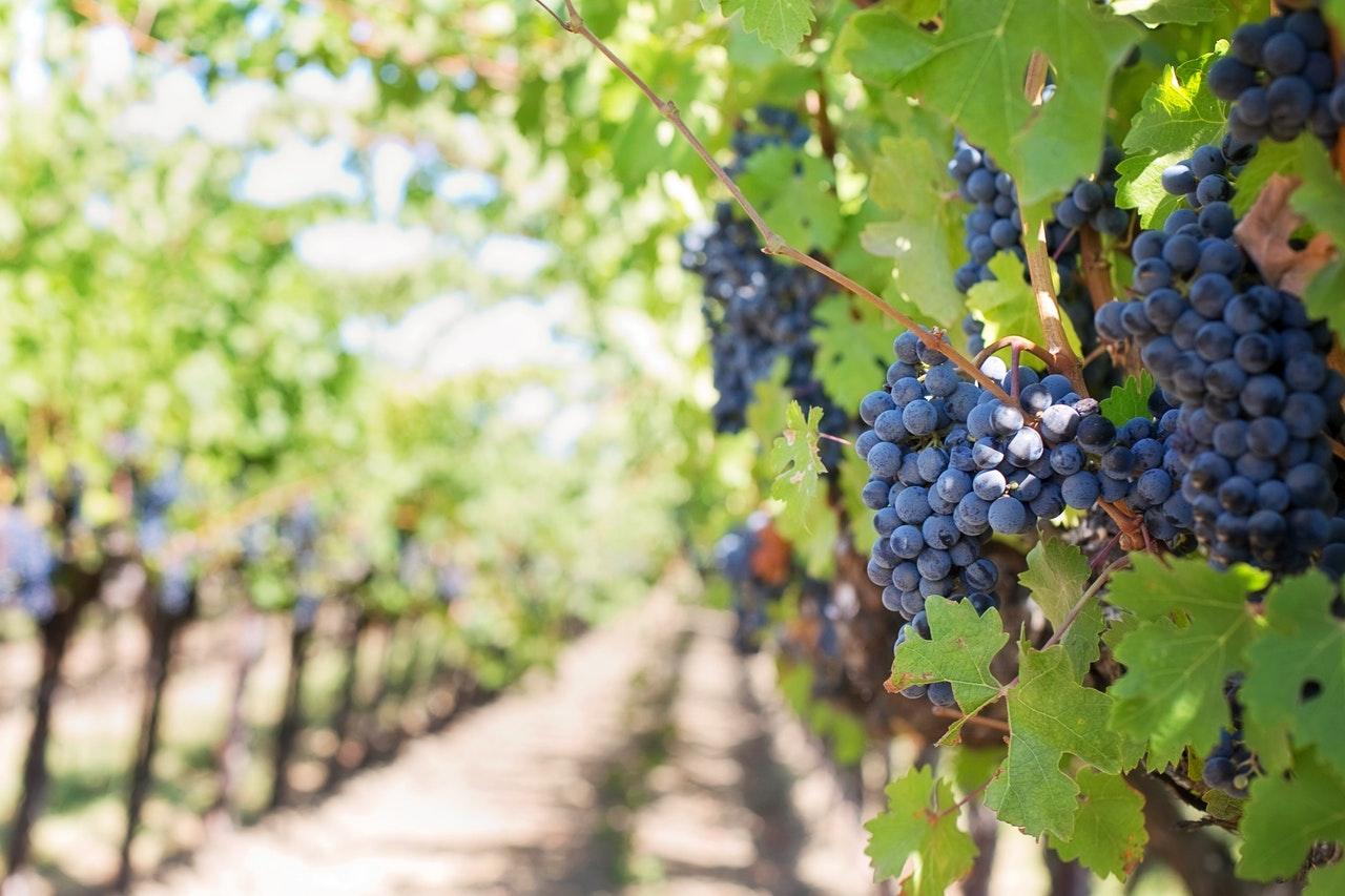 Druiven aan boom in wijngaard