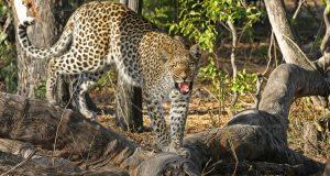 luipaard in het wild bij reisbestemming